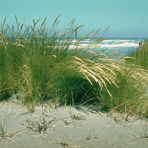 European beachgrass, photo courtesy Alfred Brousseau, Saint Mary's College